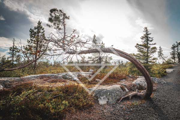 Crooked Pine Tree at Fell Trail