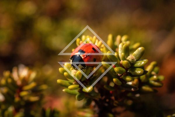 Ladybug on a Shrub